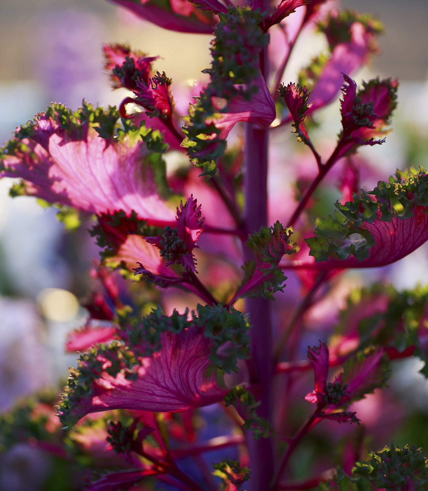 paarse boerenkool bloem