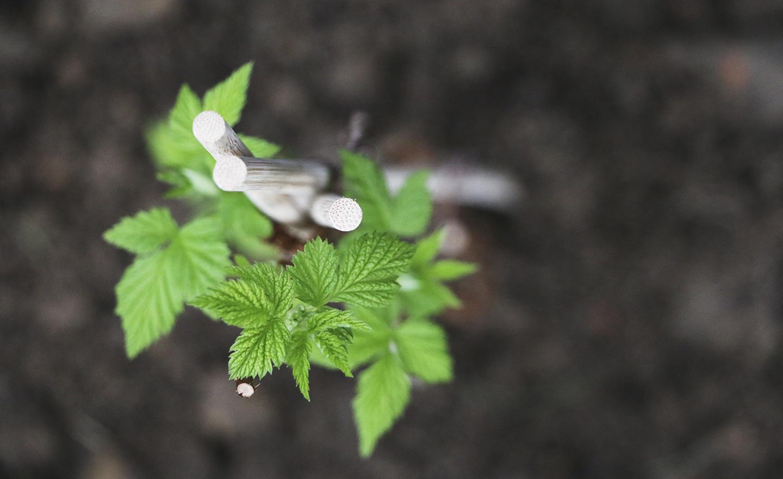 frambozen planten