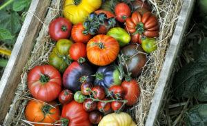 Tomaten telen in de moestuin