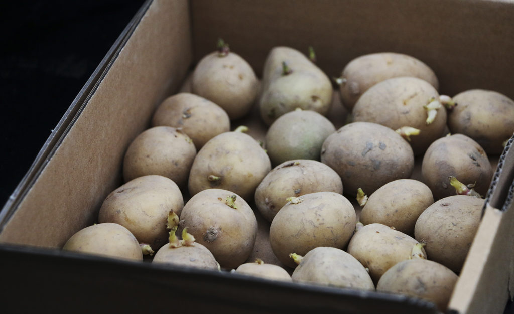 Aardappelen voorkiemen