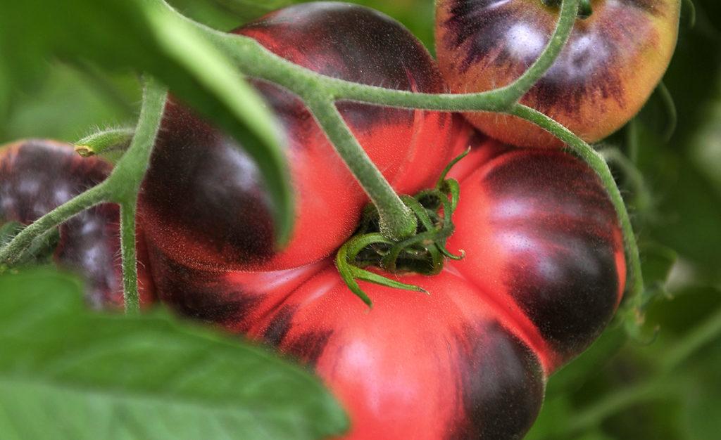 Amethyst jewel tomaat