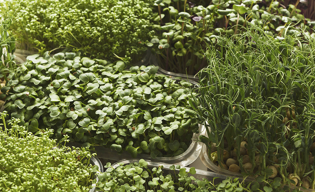 microgroenten kweken