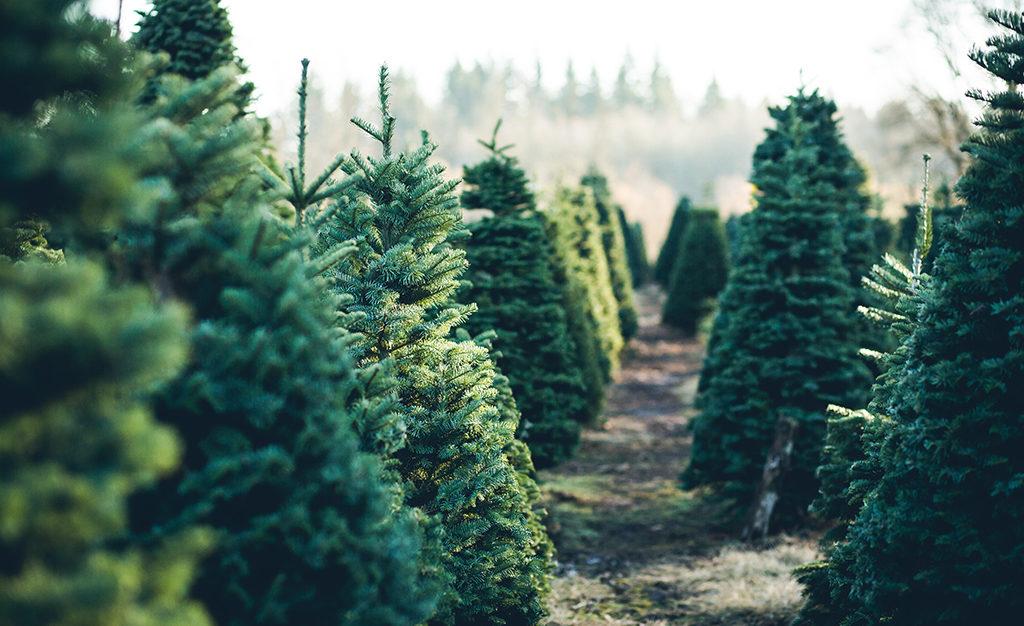 Waarop Letten Bij Het Kiezen Van Een Kerstboom Angelo Dorny